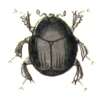 Histeridae - Hister unicolor