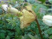 Hodgsonia heteroclita 3.JPG