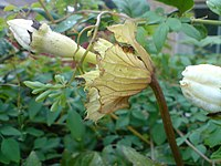 Hodgsonia heteroclita 3