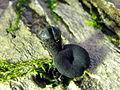 Holwaya mucida 116933.jpg