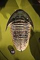 Homalonotus - trilobite - Smithsonian Museum of Natural History - 2012-05-17.jpg