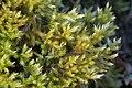 Homalothecium lutescens (d, 153205-482338) 1474.JPG