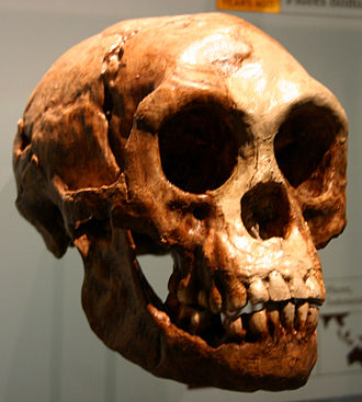 Homo floresiensis - A cast of the Homo floresiensis skull, American Museum of Natural History