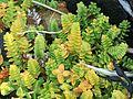 Honckenya peploides (Sea sandwort) - Flickr - S. Rae.jpg