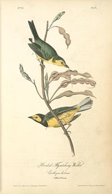 Hooded Warbler in Audubon's Birds of America