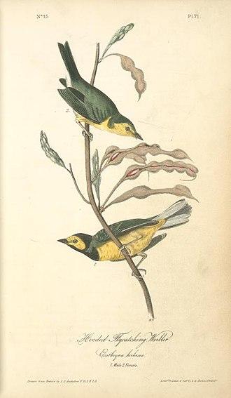 Hooded warbler - Hooded Warbler in Audubon's Birds of America
