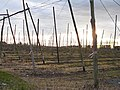 Hop garden on Bull Lane - geograph.org.uk - 351146.jpg