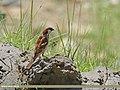 House Sparrow (Passer domesticus) (15710458639).jpg