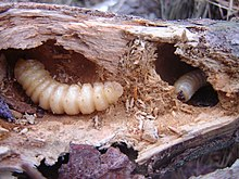 Two large insect larvae in tunnels in a tree branch