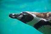 Humboldt Penguin (9217788426).jpg
