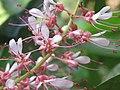 Humboldtia brunonis - Brown's Humboldtia at Peravoor (2).jpg