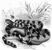 Hydrophis