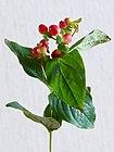 Hypericum androsaemum20200130 16538.jpg
