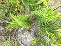 Hypericum mysorense - Mysore St Johns Wort, അവരംകോല avaram-kola.jpeg