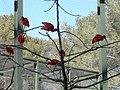 Ibis rouge (2363126451).jpg