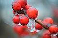 Ice on berries (5395042487).jpg