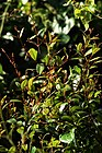 Ichnocarpus frutescens - പാൽവള്ളി.jpg