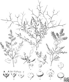 Iconography of Australian salsolaceous plants (1889) (20753024951).jpg