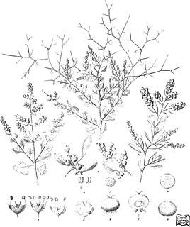 <i>Chenopodium spinescens</i> Species of plant