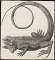 Iguana tuberculata - 1700-1880 - Print - Iconographia Zoologica - Special Collections University of Amsterdam - UBA01 IZ12800047.tif