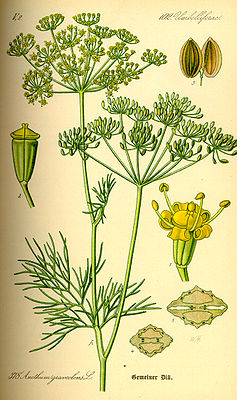 Dill (Anethum graveolens), Illustration