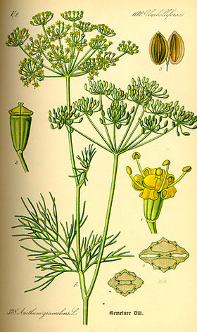 Illustration Anethum graveolens0.jpg