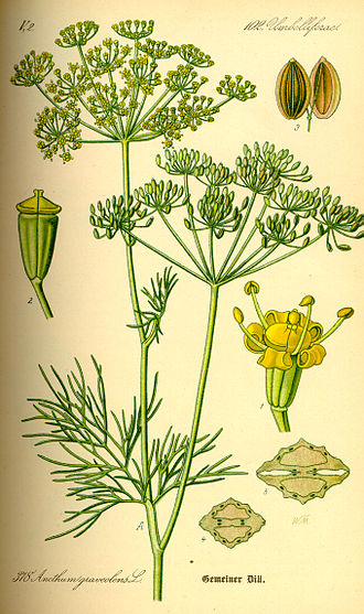 Dill - 1885 illustration