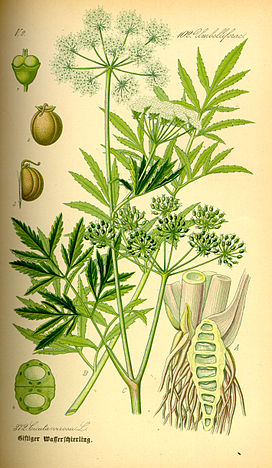 Illustration Cicuta virosa0.jpg