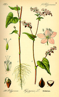 Illustration fagopyrum esculentum0