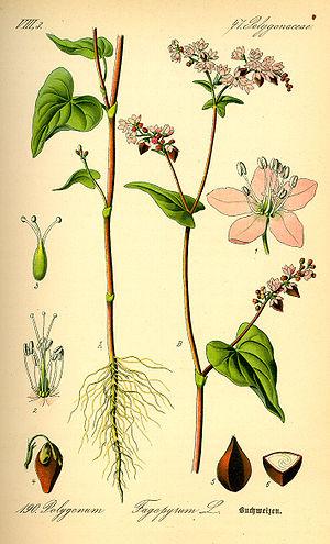 Buckwheat whisky - Buckwheat, Fagopyrum esculentum