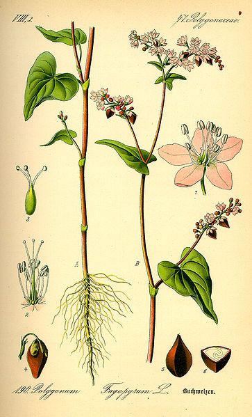 Image:Illustration Fagopyrum esculentum0.jpg