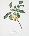 Illustration from Pomona Italiana Giorgio Gallesio by rawpixel00024.jpg