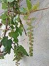 Immature grapes 01.jpg