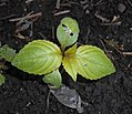 Impatiens parviflora 2016-04-18 7545.jpg