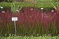 Imperata cylindrica 'Red Baron' Kruidtuin Leuven.jpg