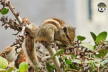 Indian-Squirrels.jpg