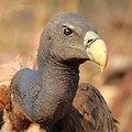 Indian vulture (Gyps indicus) Close-up by Shantanu Kuveskar.jpg