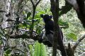 Indri in Andasibe 09.JPG