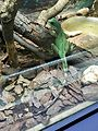 Instituto Butantan 2016 017 - Chinese water dragon.jpg
