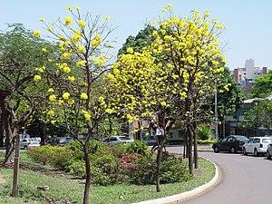 Maringá - Trees