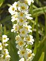 Iridaceae - Sisyrinchium striatum.JPG