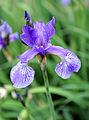 Iris sibirica 006.jpg