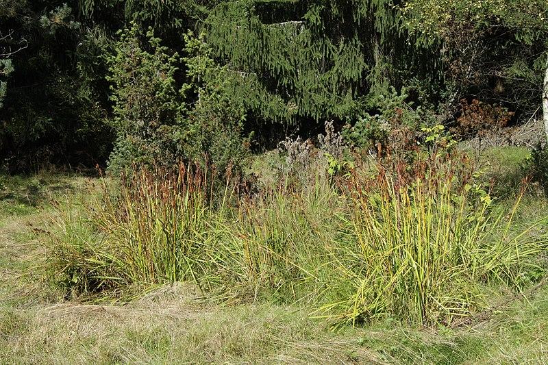 File:Iris sibirica in natural monument Poledni in 2011 (2).JPG