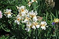 Iris sp. 6 (49045448458).jpg