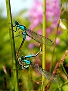 Ischnura elegans couple.JPG