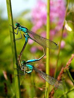 Ischnura elegans couple.JPG