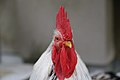 Ise Shrine rooster, close-up.jpg