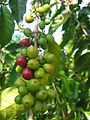 Island of Hawaiʻi - coffee cherries.JPG