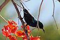 Israel. Palestine Sunbird (6497645585).jpg