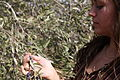 Israel Olive Picking (8157034096).jpg